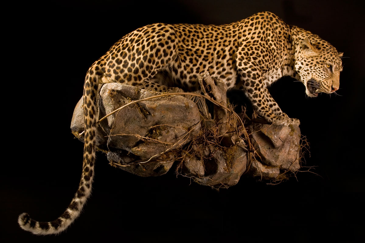 Related Keywords Amp Suggestions For Leopard Taxidermy